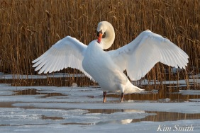 mr-swan-mute-swan-cygnus-olor-copyright-kim-smith